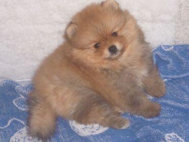 Pomeranian s PP na prodej