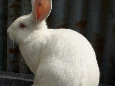 Prodám králíky plemene český albín