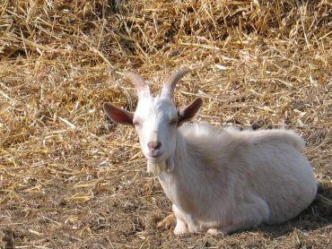 Prodám kozlíka na chov